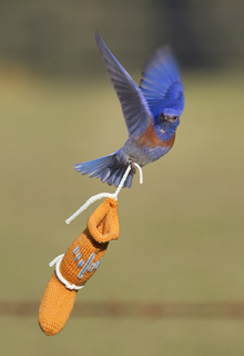 Bluebird_flying_close_small2