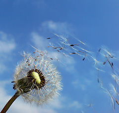 Dandelion_in_the_wind_small
