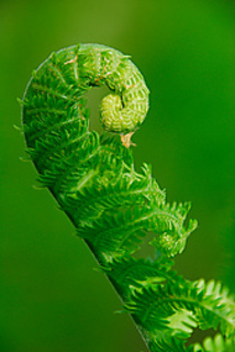Fern_-_frond_curls__57411__small2
