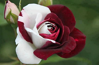 Red-white-rose-flowers-33501861-555-365_small2