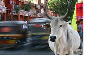Cow_medium_small2