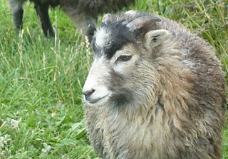 North_ronaldsay_lamb_h2_small2