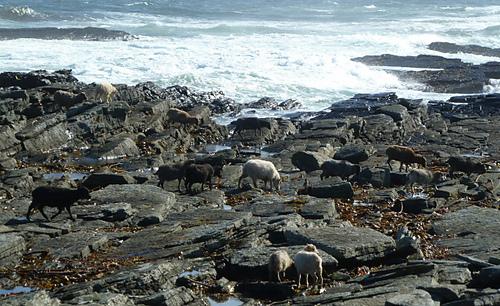 North_ronaldsay_sheep_h1_medium