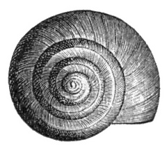 Valvata_utahensis_shell_2_small