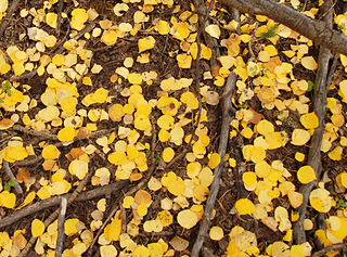 Golden-aspen-leaves-on-the-ground_detail_small2