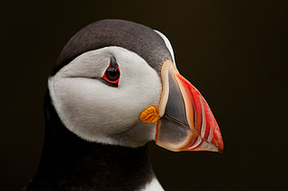 Puffin-portrait_small2